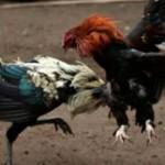 pelea_gallos-proteccion_animal-reformas-Veracruz_MILIMA20160723_0108_11