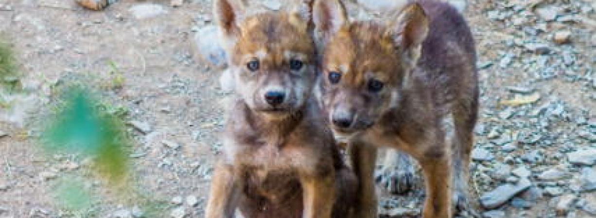 Nacen ejemplares de lobo gris mexicano en MUDE