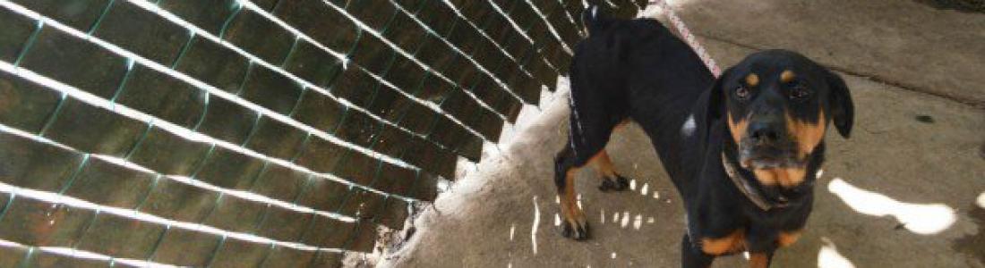 Avalan en Senado prohibir peleas de perros